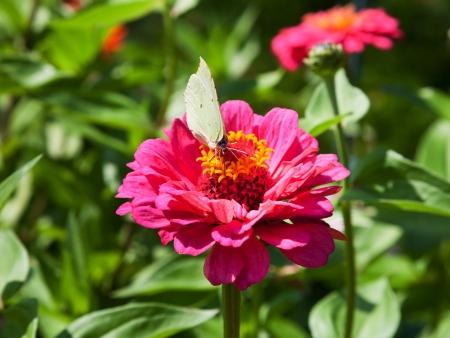 gonepteryx: Brimstone butterfly on pink Zinnia flower feed nectar macro shot