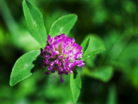 flower of red clover trifolium pratense close up Stock Photo - 21682637