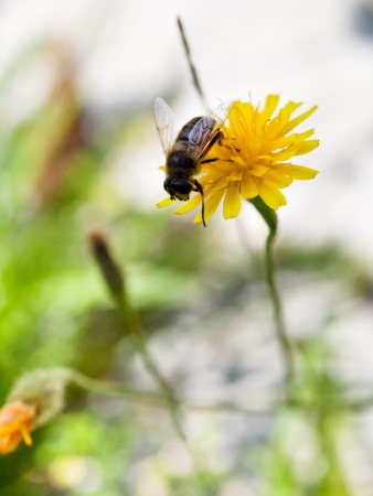 honey bee collect nectar from yellow flower of close up photo