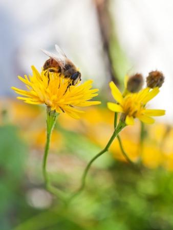 sorbo: miel de abejas succionan el n�ctar de flor amarilla de cerca
