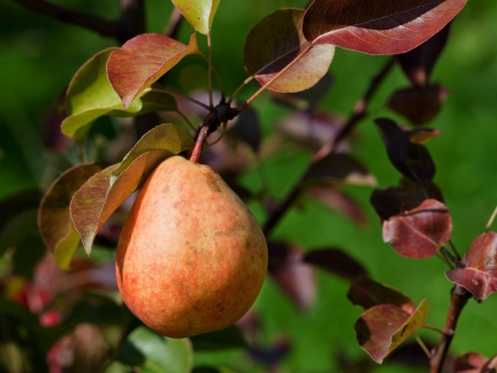 one ripe red pear on tree in fruit orchard photo