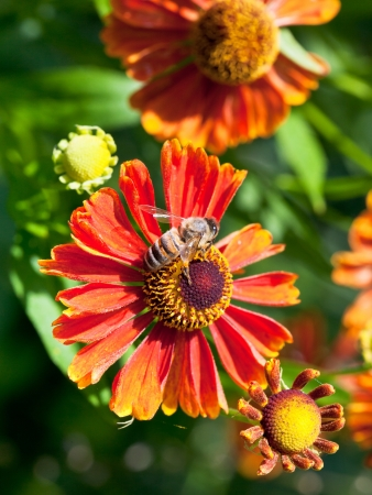 above view of honey bee sips nectar from gaillardia flower close up photo