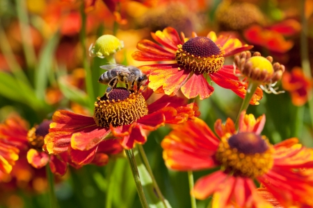 honey bee sips nectar from gaillardia flower in sunny day photo