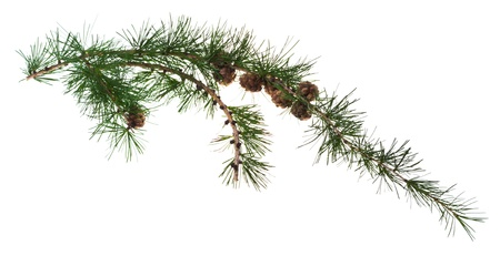 acerose leaf: pine cones on branch of conifer tree isolated on white background