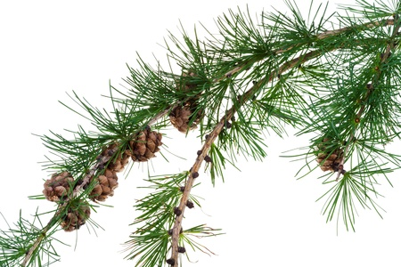 acerose leaf: larch cones on branch of conifer tree isolated on white background