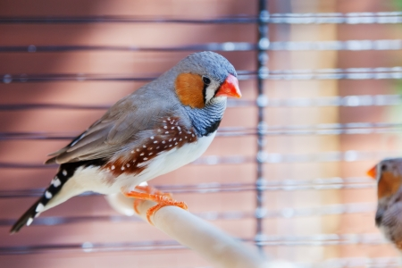bird cage: Cut-throat Finch bird in cage Stock Photo