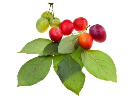 plum tree leaves and red and green plums isolated on white background photo