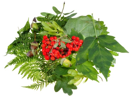 summer still life from green leaves, red rowan berries and acorns isolated on white background photo