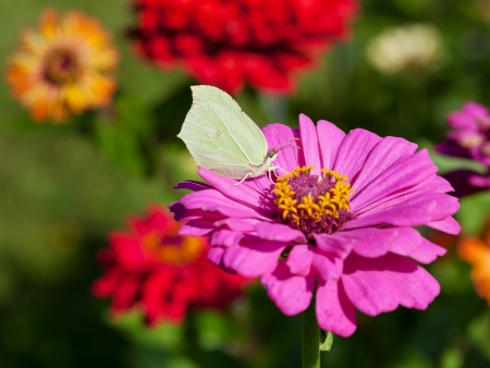 butterfly female imago Brimstone eating pollen on pink Zinnia flower close up photo