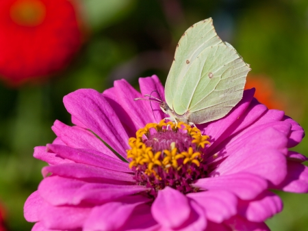 butterfly female imago Brimstone feed nectar on pink Zinnia flower close up photo