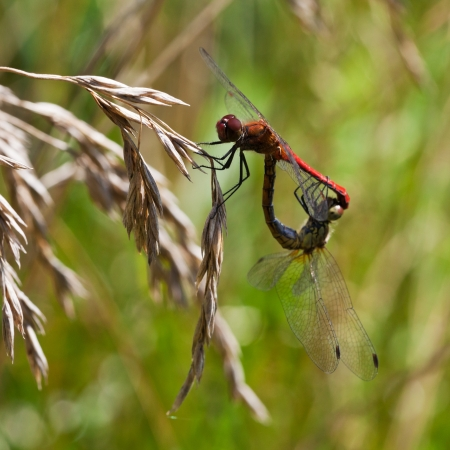 crocothemis: couple of red dragonflies on grass close up in summer day Stock Photo