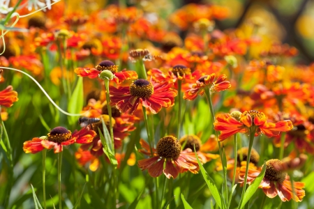 decorative gaillardia flowers in garden in sunny day photo