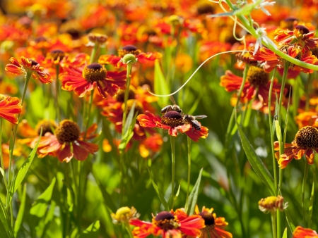 flowering field with gaillardia flowers and honey bees close up photo