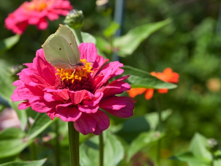 butterfly Brimstone on pink Zinnia flower close up in summer day photo