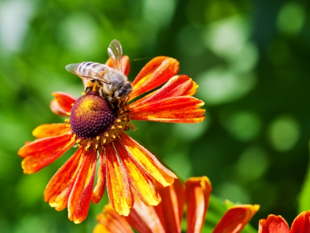 macro shot of honey bee sips nectar from gaillardia flower close up photo