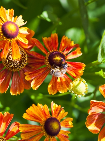 top view of honey bee sips nectar from gaillardia flower close up photo