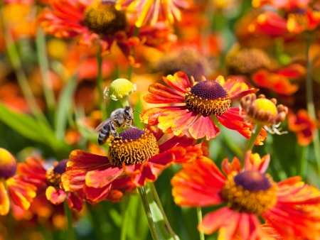 honey bee sips nectar from gaillardia flower outdoors close up photo