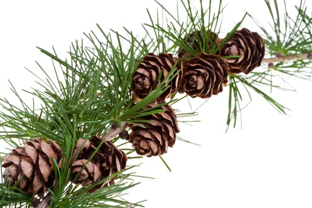 branch of conifer tree with pine cones on isolated on white background close up photo