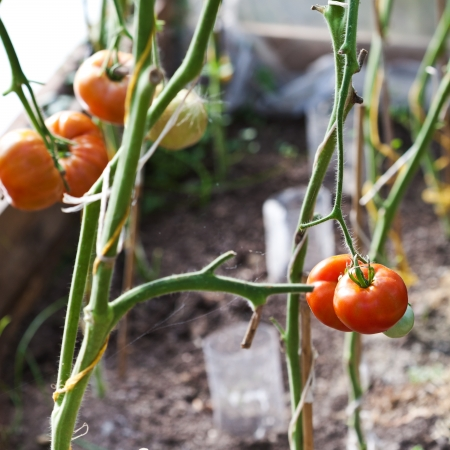 hotbed: ripe tomatoes on hotbed in greenhouse