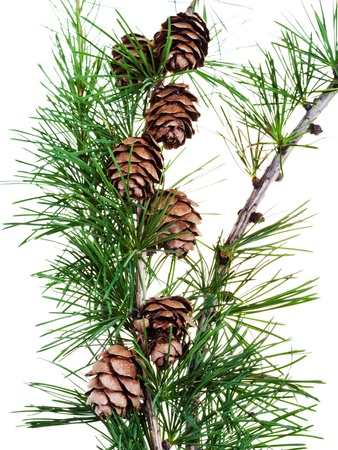 pine needles: several strobiles on branch isolated on white background
