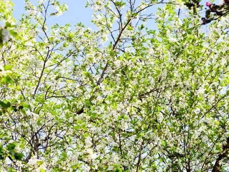 Weiße Blumen Auf Baum Im Frühjahr Wald Lizenzfreie Fotos, Bilder Und ...