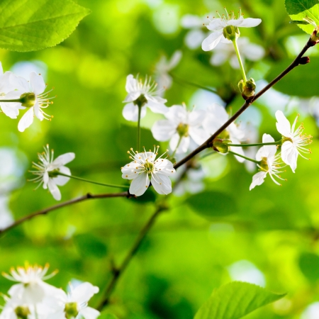 white spring flowers on tree brunch with green foliage background photo
