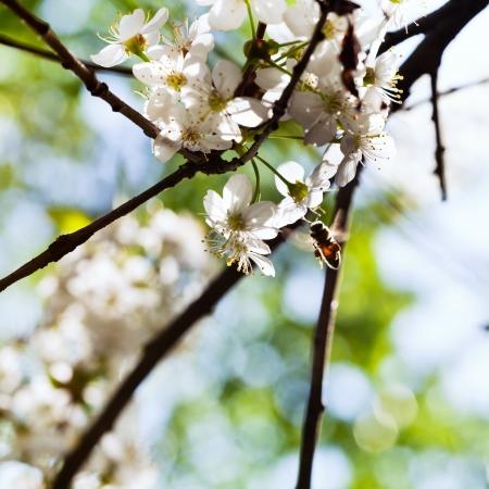 Honig Biene Sammeln Nektar Von Frühjahr Weiß Blühenden Baum ...