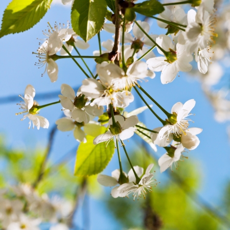 white spring blossoms on twig with blue sky background photo