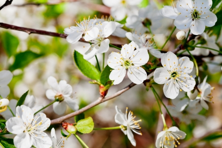 white cherry flowers on twig in spring day close up photo
