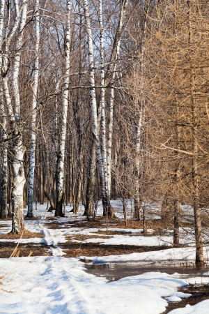 snow path in birch forest in early spring photo