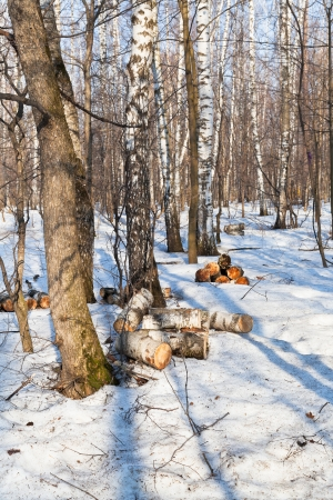 firewood production in spring forest photo