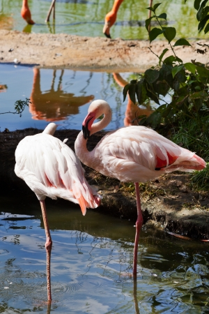 two Greater Flamingo birds outdoors photo