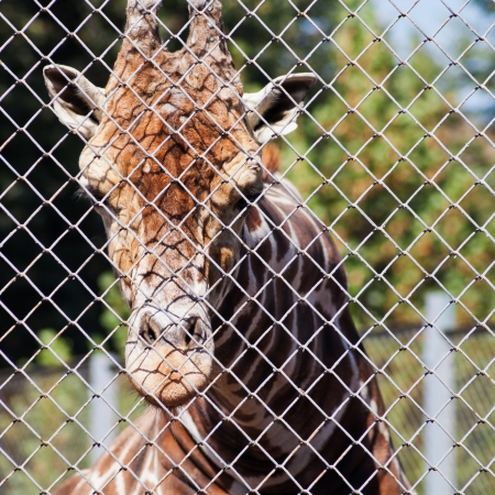 rabitz: giraffe behind grid of open-air cage close up in summer day
