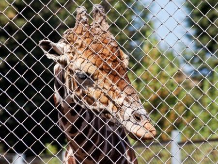 rabitz: giraffe behind grid of open-air rabitz close up in summer day Stock Photo