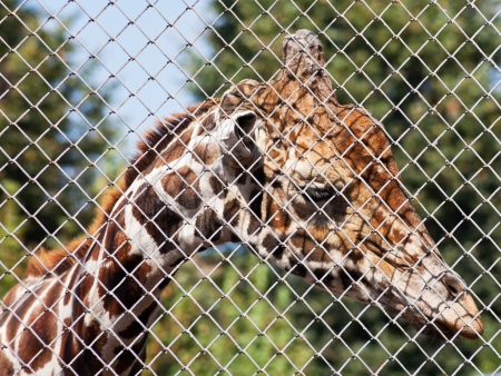 rabitz: sad giraffe behind grid of open-air cage close up in summer day Stock Photo