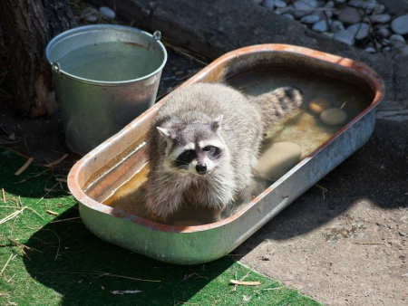 trough: common raccoon in trough of water outdoors