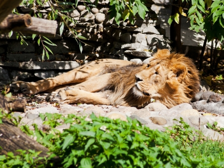 asiatic lion sleeping outdoors in summer day photo