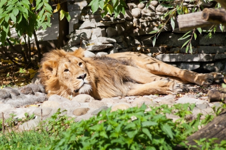 asian lion sleeping outdoors in summer day photo