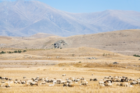 breeding ground: mountain plateau with flock of sheep in Armenia in autumn day Stock Photo