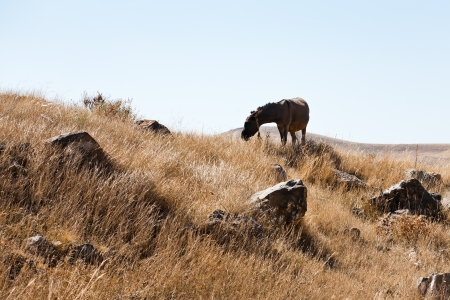 lith: horse grazes in Zorats Karer (Carahunge) area - pre-history megalithic monument in Armenia