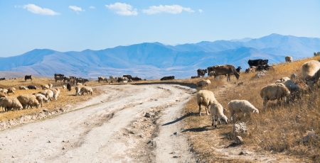 panorama with country road and flock of sheep grazing on roadside in Armenian mountain in autumn day photo