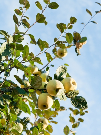ripe fruits of apple quince on tree in autumn photo