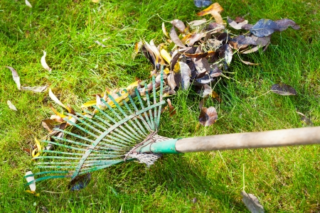 cleaning green lawn from autumn leaves by rake photo
