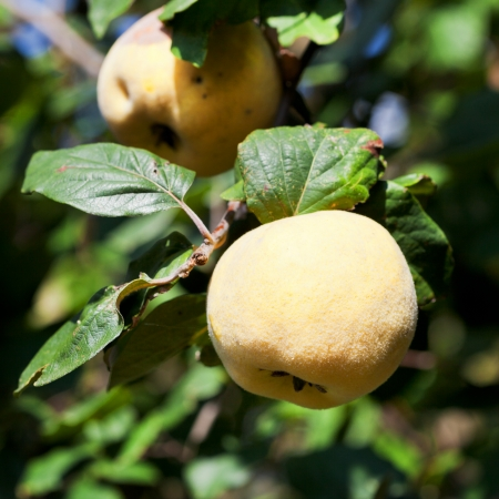tree branch with ripe yellow quince in autumn photo