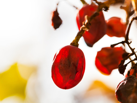 dried red grape at vineyard in sunny autumn day close up photo