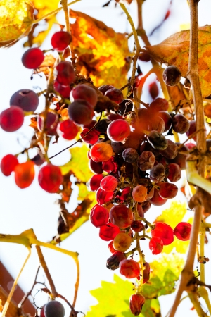 dried grapes at vineyard in sunny autumn day photo
