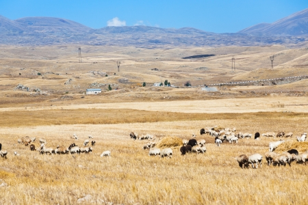 view of mountain plateau with herd of sheep in Armenia in autumn day photo