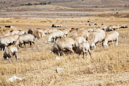 herd of sheep grazing on autumn grass in mountain Armenia photo