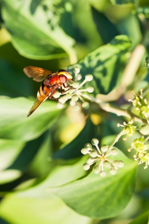 nectaring: flower fly volucella inanis nectaring on green  blossoms of ivy plant in autumn day