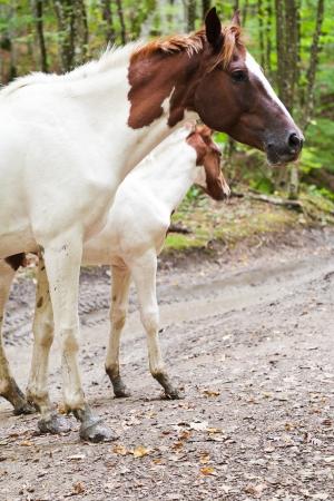 piebald: caballo picazo y potro en el camino forestal en las monta�as del C�ucaso Foto de archivo